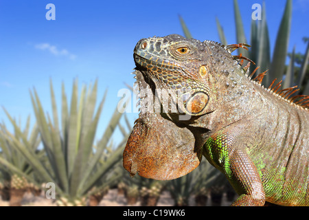 Iguana Mexico in agave tequila plant field blue sky - Stock Photo