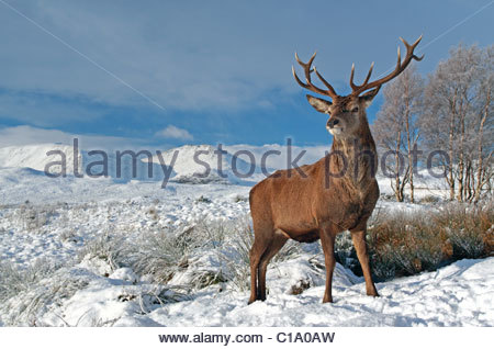 Deer Stag on a snow covered winter landscape in the scottish highlands - Stock Photo