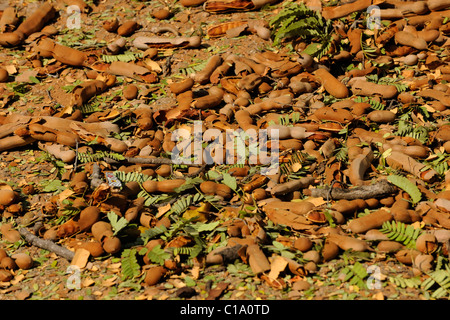 Tamarind (Tamarindus indica) seed pods on the ground under the tamarind tree - Stock Photo