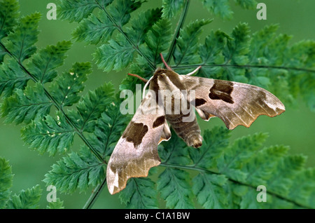Lime Hawk-moth (Mimas tiliae) on vegetation, Europe - Stock Photo