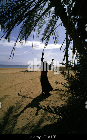 NUWEIBA, SINAI, EGYPT --A BEDUIN WOMAN FETCHES WOOD FROM A PALM TREE NEAR NUWEIBA ON THE RED SEA. - Stock Photo