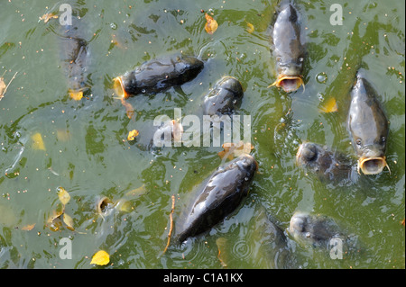 Shoal of Common carp (Cyprinus carpio) coming to surface for air in park pond, Belgium - Stock Photo