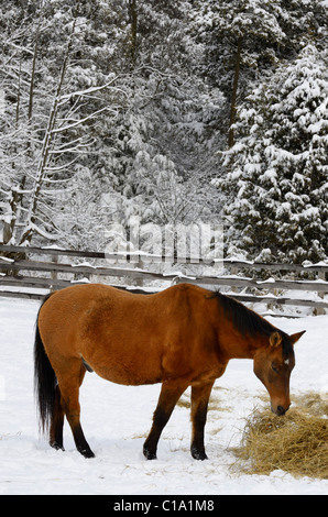 Bay quarter horse in a paddock feeding on hay in the winter beside a snow covered forest - Stock Photo
