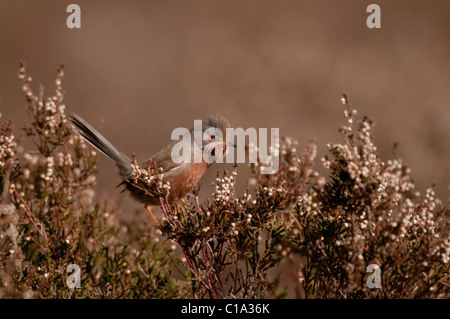 Dartford Warbler (Sylvia undata) perched on top of spring time heather. - Stock Photo