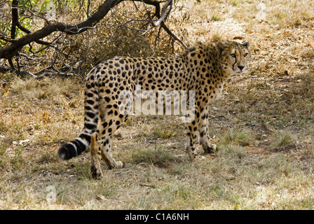 Cheetah walking in grass, South Africa - Stock Photo