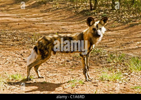 Wild dog (African hunting dog), South Africa - Stock Photo
