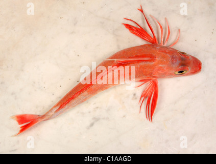 Red Gurnard fish on a marble slab - Stock Photo