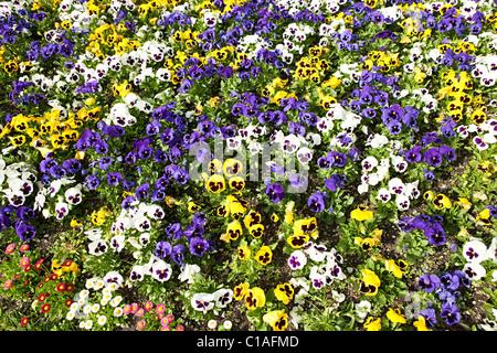 Viola flowers, Bavaria, Germany - Stock Photo