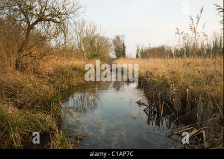 European beaver  (Castor fiber). Trial reintroduction project. Kent, UK. Habitat - Stock Photo