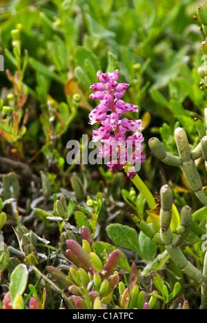 Purple wildflower, Western Cape, South Africa - Stock Photo