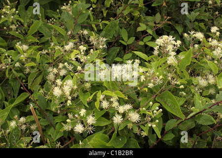 Traveller's-joy (Clematis vitalba : Ranunculaceae), UK. - Stock Photo