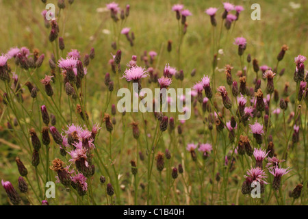 Saw-wort (Serratula tinctoria : Asteraceae), UK. - Stock Photo