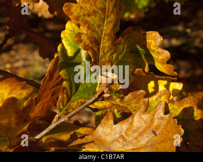 Oak leaves and empty acorn cup in autumn colour - Stock Photo