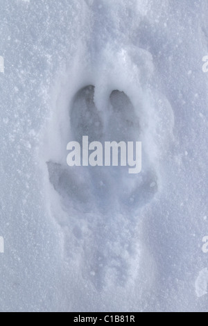Wild boar (Sus scrofa) track in the snow in winter, Germany - Stock Photo