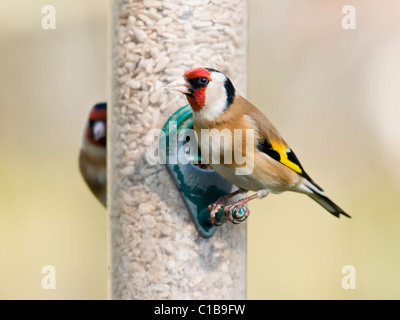 Goldfinches feeding from garden bird feeder - Stock Photo