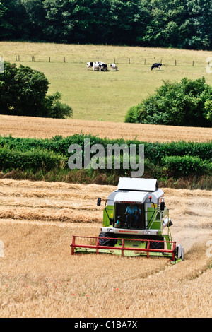 Harvesting barley in Surrey, uk, with cows in the opposite field - Stock Photo