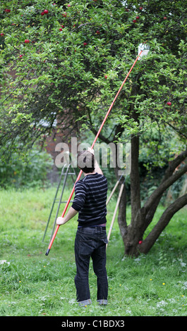 A Man Picks Apples From Tree In North London Using Apple Picker