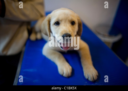 A Golden Retriever puppy dog at a Pet Hospital in Condesa, Mexico City, Mexico, February 5, 2011. - Stock Photo