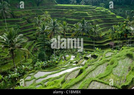 Terraced rice paddies near Ubud in Bali Indonesia - Stock Photo