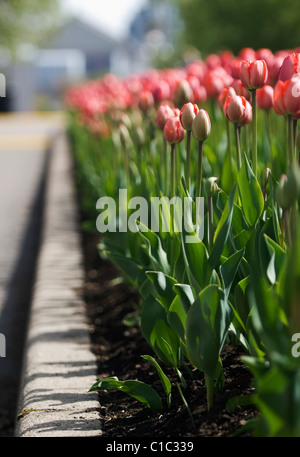Spring tulips in the Nation's Capital, Ottawa Canada - Stock Photo