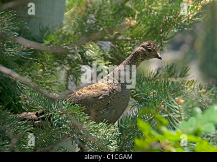 Female Blue Grouse (Dendragapus obscurus) near Ouray, Colorado US. - Stock Photo