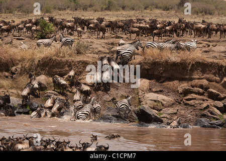 Wildebeest and Zebra Crossing Mara River - Stock Photo