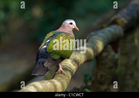Emerald Dove Chalcophaps indica Captive - Stock Photo