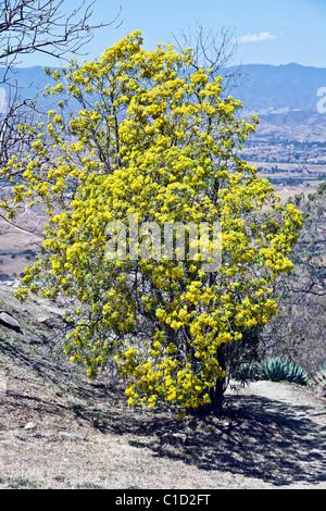 Flowering acacia tree stock photo 131010313 alamy yellow flowering acacia tree blooming on hillside below ruins of ancient zapotec capital city of monte mightylinksfo