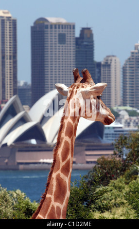Head shot of a giraffe, with the Sydney Opera House in the background, Taronga Park Zoo, Sydney, New South Wales, - Stock Photo