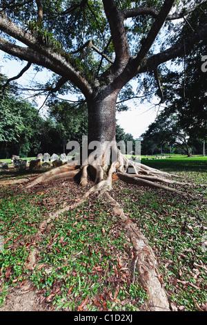 Ceiba Tree with Buttress Roots, Caguana Ceremonial Park, Utuado, Puerto Rico - Stock Photo