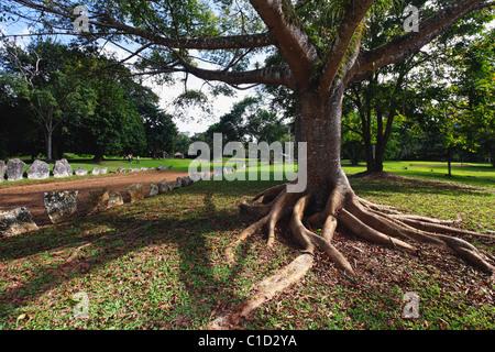 Ceiba Tree next to Taino Ball Court, Caguana Tribal Ceremonial Site, Utuado, Puerto Rico - Stock Photo