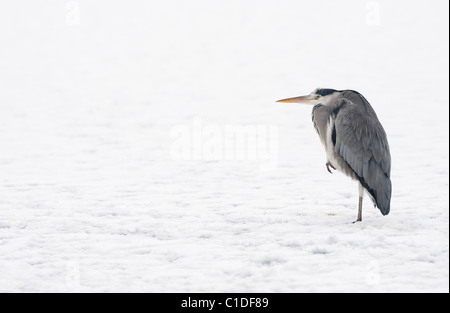 Grey heron (Ardea cinerea), Reddish Vale Country Park, Greater Manchester, UK - Stock Photo