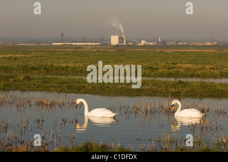 Mute swan pair (Cygnus olor) Isle of Sheppey, Kent, UK - Stock Photo