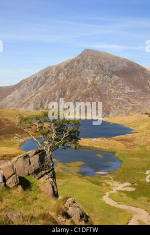 Rowan tree on rocky outcrop above Llyn Idwal in Cwm Idwal National Nature Reserve with Pen Yr Ole Wen mountain in - Stock Photo