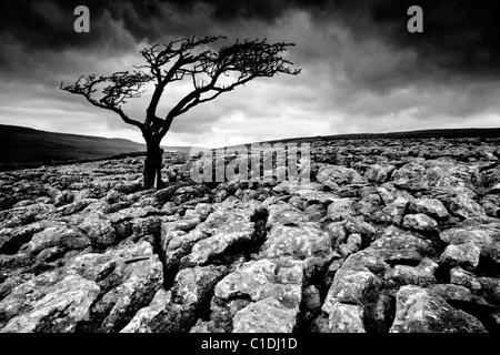 Lone tree, Twistleton Scar, near Ingleton, Yorkshire Dales, England - Stock Photo