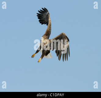 White-tailed Eagle in flight above a snowy field full of Red Crowned aka Japanese Cranes near Akan at Hokkaide, - Stock Photo