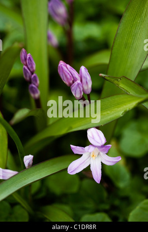 Chionodoxa forbesii 'Pink Giant', Glory of the Snow, in bloom - Stock Photo