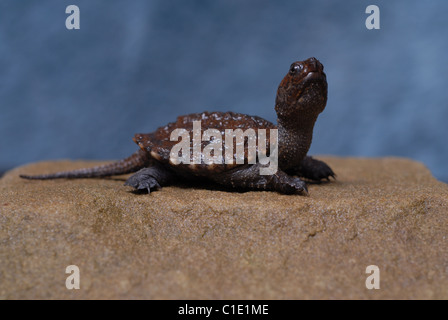 Baby Snapping Turtle; Chelydra serpentina - Stock Photo