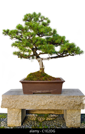 Bonsai Miniature Tree Sitting on Granite Stone Bench in Chinese Garden - Stock Photo