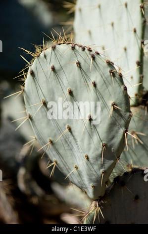 Wheel Cactus or Camuesa (Opuntia robusta) - Stock Photo