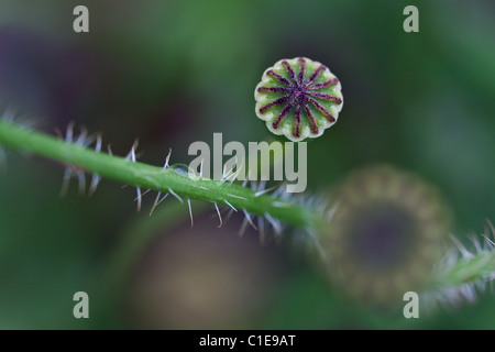 poppy flower without petals - Stock Photo