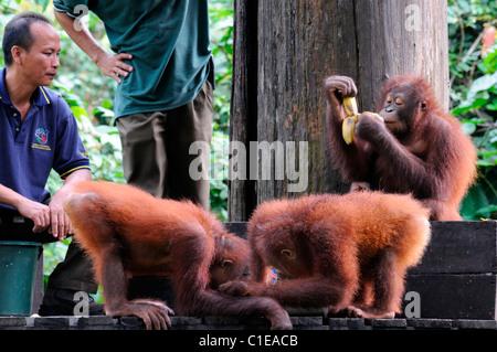 Young Orangutans Pongo pygmaeus being fed bananas feeding time Sepilok Rehabilitation Centre Sabah conservation - Stock Photo