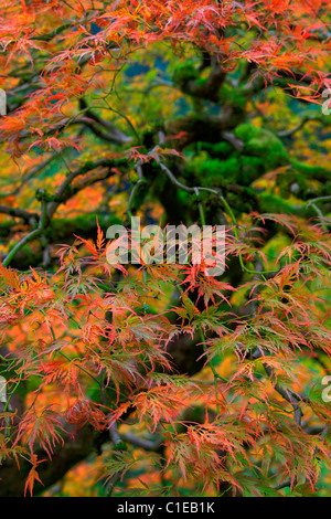 Old Japanese Red Lace Leaf Maple Tree in Autumn - Stock Photo
