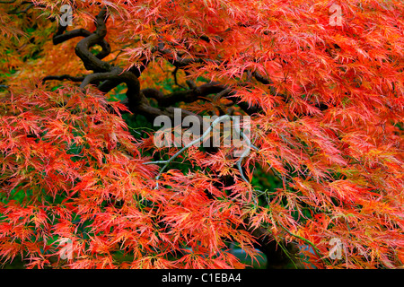 Old Japanese Red Lace Leaf Maple Tree in Autumn 3 - Stock Photo
