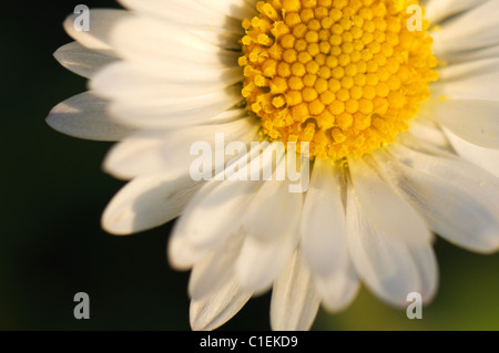 Close up of a common daisy flower head. - Stock Photo