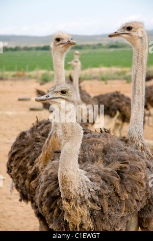 Ostrichs in the Karoo desert on the farm with a mountain range and blue sky background - Stock Photo