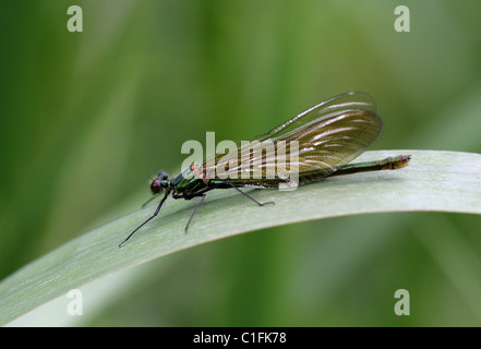 Female Beautiful Demoiselle Damselfly, Calopteryx virgo, Calopterygidae, Zygoptera, Odonata. - Stock Photo