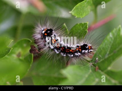 Larva of the Yellow-tail Moth, Euproctis similis (Syn. Sphrageidus similis), Lymantriidae, Noctuoidea, Lepidoptera. - Stock Photo