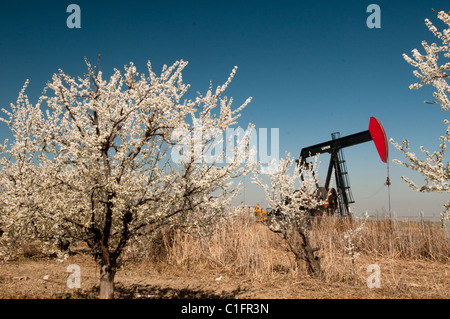 Oil well and fruit tree blossoms in San Joaquin Valley near Bakersfield California USA - Stock Photo