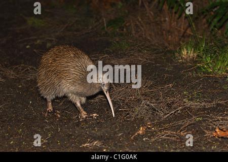 South Island brown kiwi (Apteryx australis), Stewart Island, New Zealand. - Stock Photo